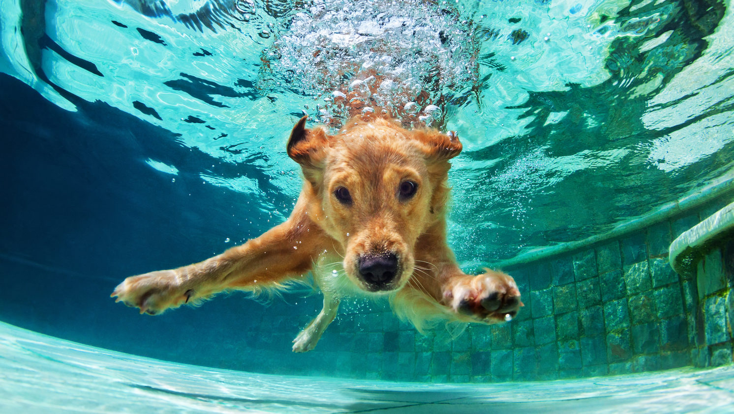 Take your pup for a swim at liberty lagoon s end of summer dog pool pawty aug 26 for How to train your dog to swim in the pool
