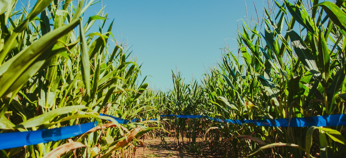 a new corn maze and pumpkin patch is open at rosedown plantation now