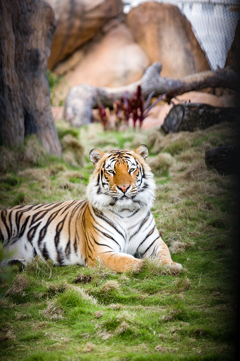 Mike the Tiger lying in grass looking at camera